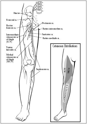 what is femoral nerve compression?, Skeleton